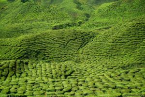 huge tea garden in asia