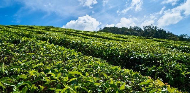 tea farm in Japan