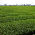 tea farm in kagoshima japan