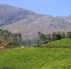 tea plantation in Kerala India